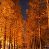 緑地公園のメタセコイヤ並木@2018夜の部