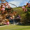 桜めぐり(7) 今年の最後も石崎地主海神社で…