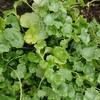 雨上がりの猫の額花壇(畑)とちびっと収穫