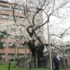 桜真っ盛り!