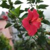 ネパ-ルの樹木と花 第4回目 ハイビスカス