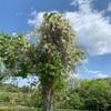 三重のお散歩〜津市の風早の里の藤の花