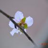 アーモンド🌸の狂い咲き