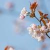 【今日の一枚】やっと咲いた念願の桜