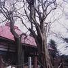 会津の巨木