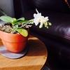 【小型胡蝶蘭の選び方と育て方】部屋に置く鉢植えの花