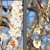 梅が咲きました(5)~地域振興のためのスマホ写真活用(15)