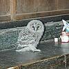 愛鳥週間を前に−今年も天井裏にフクロウが営巣