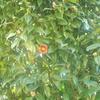 まだ椿は満開に咲いてない。