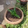 予定日まで24日!パイナップル鉢植え