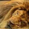 【乃木フェス攻略】無口なライオンイベ開始!無課金でSPカード取れる?