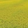 黄金色に染まった稲の大海原が最高に綺麗な安曇野の秋。