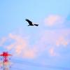 稲敷市浮島湿原を飛ぶチュウヒ