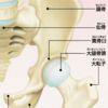 腰痛の原因は股関節?(後半)
