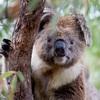 失われ続けるコアラの生息地 森林伐採を許可する協定が延長の可能性