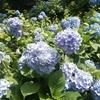 【観光】2週連続で鎌倉に行ってきた❗️紫陽花(あじさい)開花状況・見頃・混雑具合
