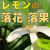 【レモン栽培】花・果実が落ちる!落花や落果の原因と対策【柑橘類の育て方】