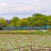 乙戸水生植物園の6月のアヤメ(土浦市)~つくば市とその周辺の風景写真案内(428)