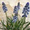 ムスカリの鉢植えは、細長い窮屈な鉢に植えっぱで9カ月!それでも元気いっぱいのムスカリ様♡いつ咲いてくれるのかなぁ~