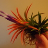 T.ionantha 'Special' 開花