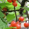 庭の果樹2
