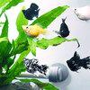 【お買い物マラソン開催!★最大2000円OFFクーポン!】(熱帯魚)バルーンモーリーミックス 【5匹セット】 生体【11/4 20:00〜11/10 23:59】