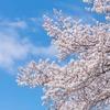 【徒然】桜の美しさを私達はどこまで理解しているのか問題