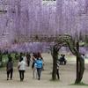 満開の藤がまるでカーテンのよう @和気 藤公園