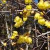 今日は、「立春」!「増ゆ(冬)」から「張る(春)」そして「裂く(咲く)」へ!