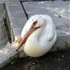 ふらっと鳥園:ペリカンさんを守ろうにゃん:ユタのソーシャルディスタンス