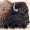 【牛肉+野性味が魅力の肉】アメリカ・カナダに行ったらバイソンをたくさん食べてみよう