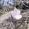 シデコブシ,Magnolia stellata,マグノリア,四手拳、