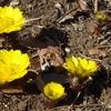 智光山公園 『 2月  早春の花 福寿草とシナマンサク 』