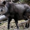 ニホンカモシカの特徴:web動物図鑑