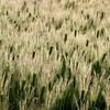 精米と大麦の畦畔の草刈りと『羅生門』