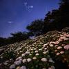 ベガと紫陽花の夜