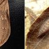 ゴマダラチョウ越冬幼虫の個性
