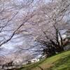 せいせき桜祭り