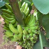 ハワイのアップルバナナをお裾分けしてもらいました!