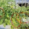 トマトの実の先に葉っぱが生えた?トマトの肥料過多と剪定の話