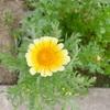 【日常】この花はなんの野菜の花でしょう?