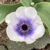 アネモネ 蕾~開花