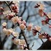 美しい梅の花と楽しい春の祭りを楽しみに行こう! 大宮第二公園梅まつり。
