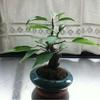 盆栽の「梅さん」