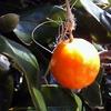 チューリップを咲かせたい ~秋~