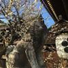 【北野天満宮】京都民曰く、天神さんの梅は2月中旬が見頃らしい。