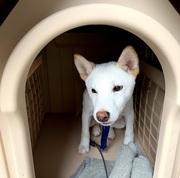 新しく柴犬の子犬(5カ月♂)を散歩のお供にと思って飼い始めたが、いきなり散歩拒否されて、エサも食べず、犬飼いの初心者は大いに焦りました。