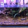 玄関のメダカ稚魚60cmLow水槽…その後①