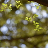 原生林の初夏/そよ風と、淡い光と、匂い立つばかりの美しい木々。市街地のすぐ脇にある神聖な森です。