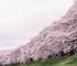 【京都の桜】「京都八幡・背割堤」 約1.4キロの桜のトンネルに圧巻
